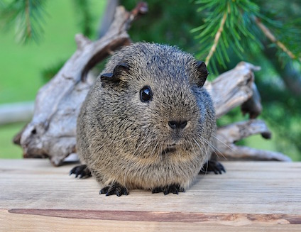 guinea-pig-542917_640