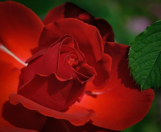 rose-411762_1280