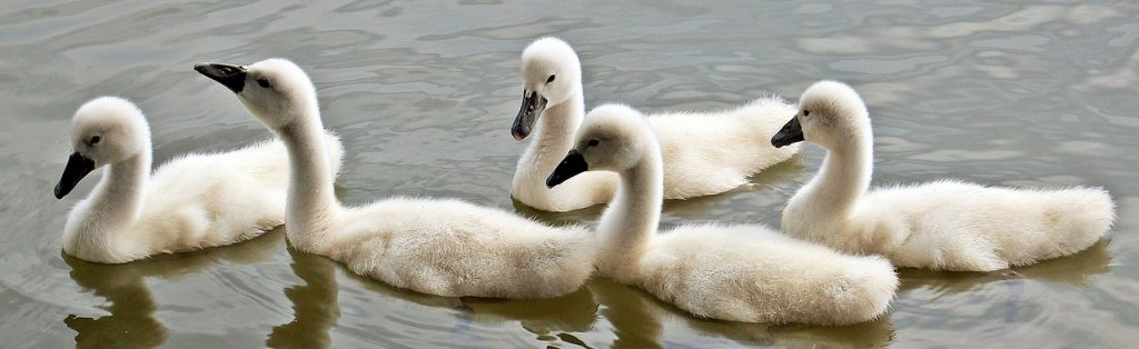 swans-1436266_1280