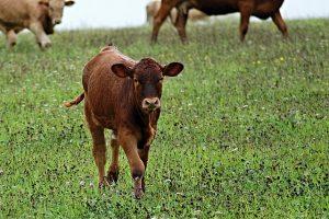 calf-433000_640