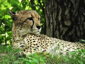 cheetah-425468_640
