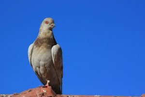pigeon-1903690_640