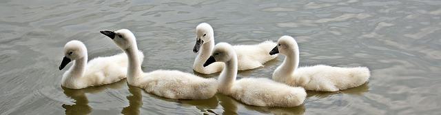 swans-1436275_640